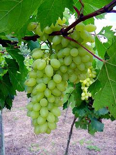 Raisins sans pépins | Centennial seedless B