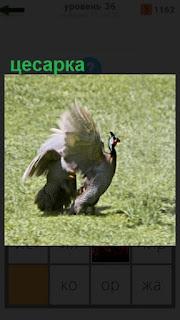 на поляне гуляет цесарка, размахивая крыльями