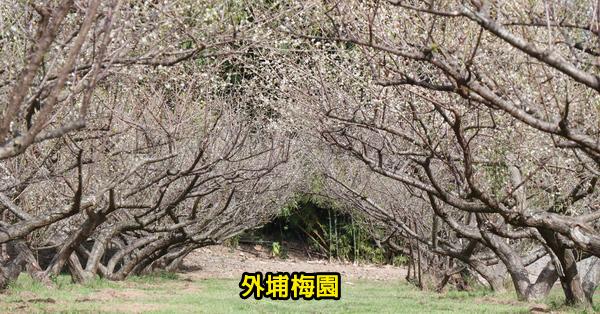 台中外埔|外埔梅園|數十棵梅樹排列整齊|地面平坦有綠草坪|泰安服務區旁