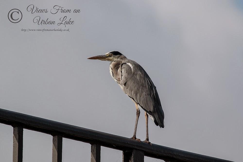 Grey Heron stood on the Iron Trunk Aqueduct - Wolverton, Milton Keynes