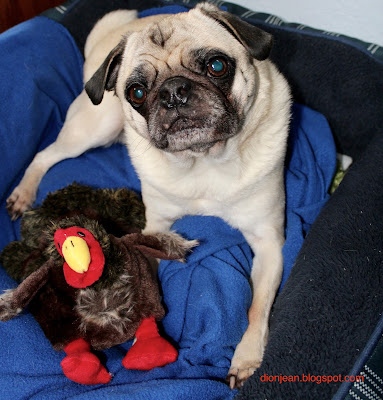 Liam the pug with his turkey toy