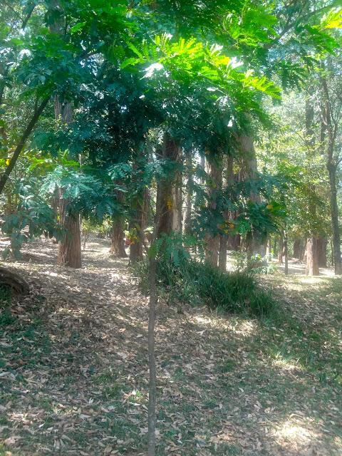 Pau Brasil - Parque Aclimação