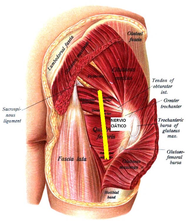 Anatomía Síndrome Piramidal y relación con nervio Ciático