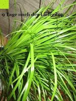 Knick: Katzengras - Cyperus alternifolius - 3 Pflanzen - zur Verdauungsunterstützung von Katzen