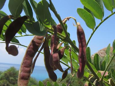 Frutti Immaguri Robinia pseudoacacia