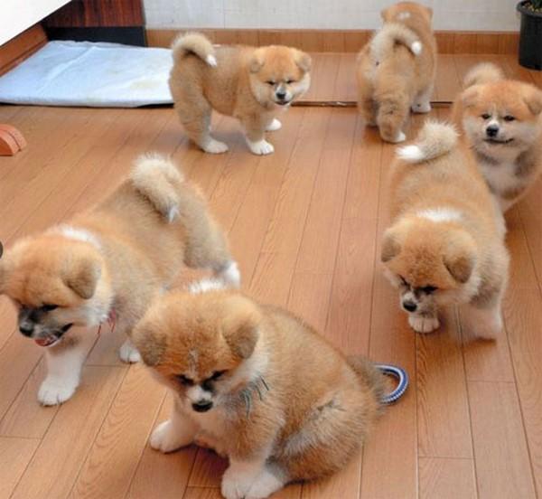 Tiệm spa Nhật Bản bỗng nhiên đông khách nhờ bầy chó Akita
