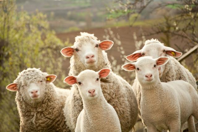 pecore umane