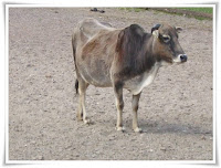 Zebu Animal Pictures