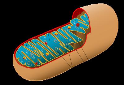 matriks mitokondria, Pengertian matriks mitokondria, Struktur Matriks Mitokondria, Fungsi Matriks Mitokondria, Situs Krebs dan fungsi matriks dalam Mitokondria.