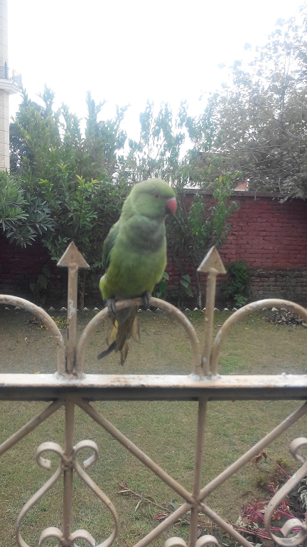 Ammar Imtiaz's  Parrot Braowo sitting in open air