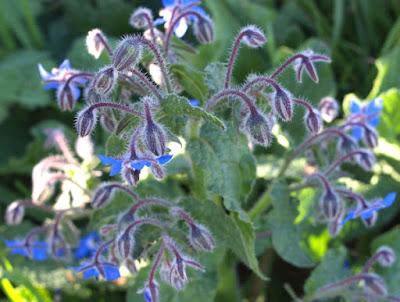 Borraja de color azul (Borago officinalis)