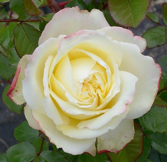 Athena сорт розы Кордес фото
