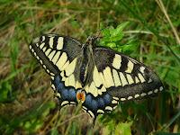 Papilomachaon