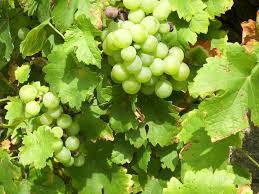 فوائد ورق العنب للصحه