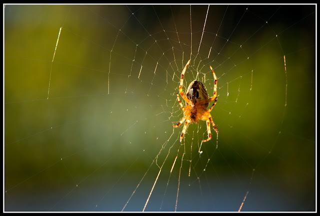 Spider; Arachnid; Web; Nova Scotia
