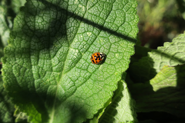 Ladybird (Harlequin) on Foxglove Leaf - October 27th 2017