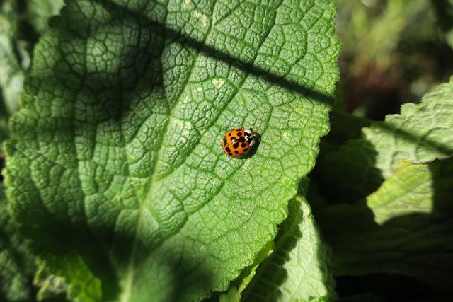 Ladybird (Harlequin) on Foxglove Leaf - October 27th 2017