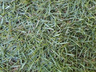 jenis rumput taman swiss yang di pakai membuat taman