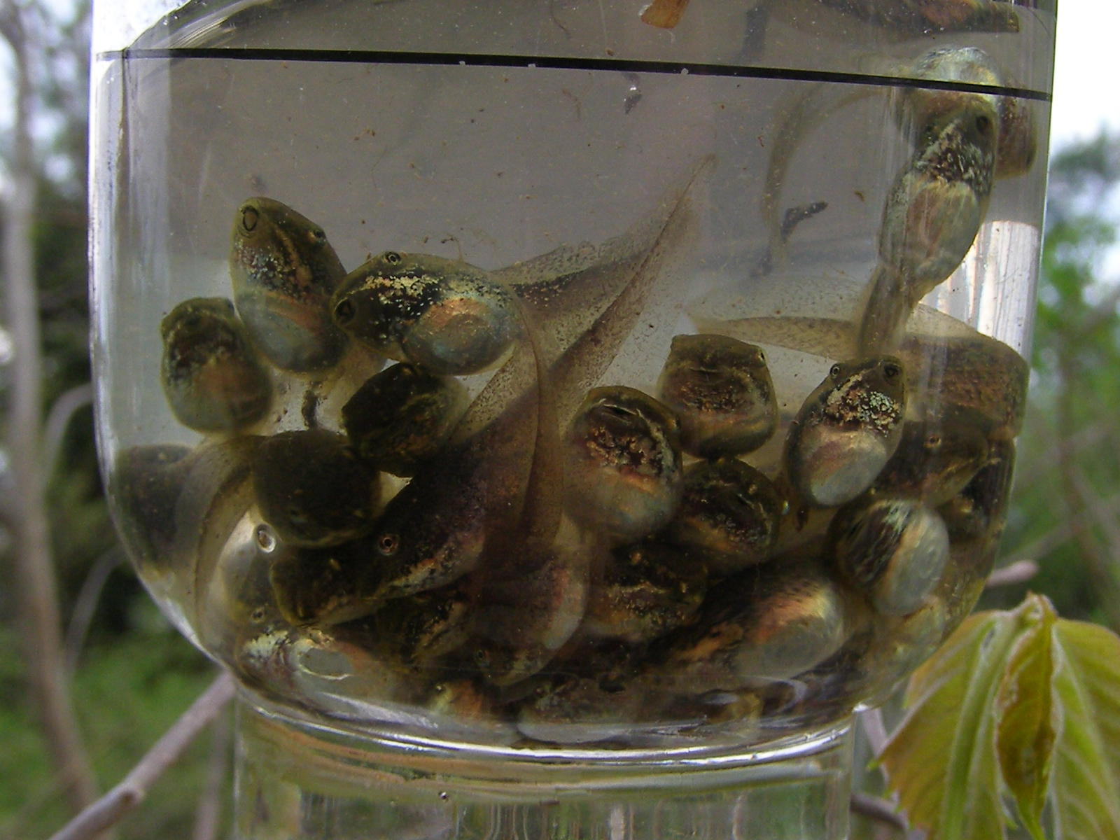 how to raise tadpoles in a jar