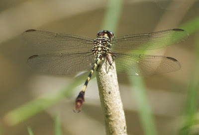Broad-striped Forceptail (Aphylla angustifolia) male