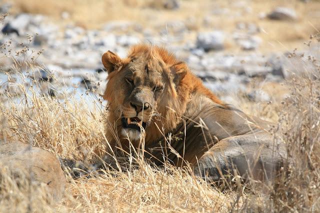 lowe-im-etosha-nationalpark-namibia