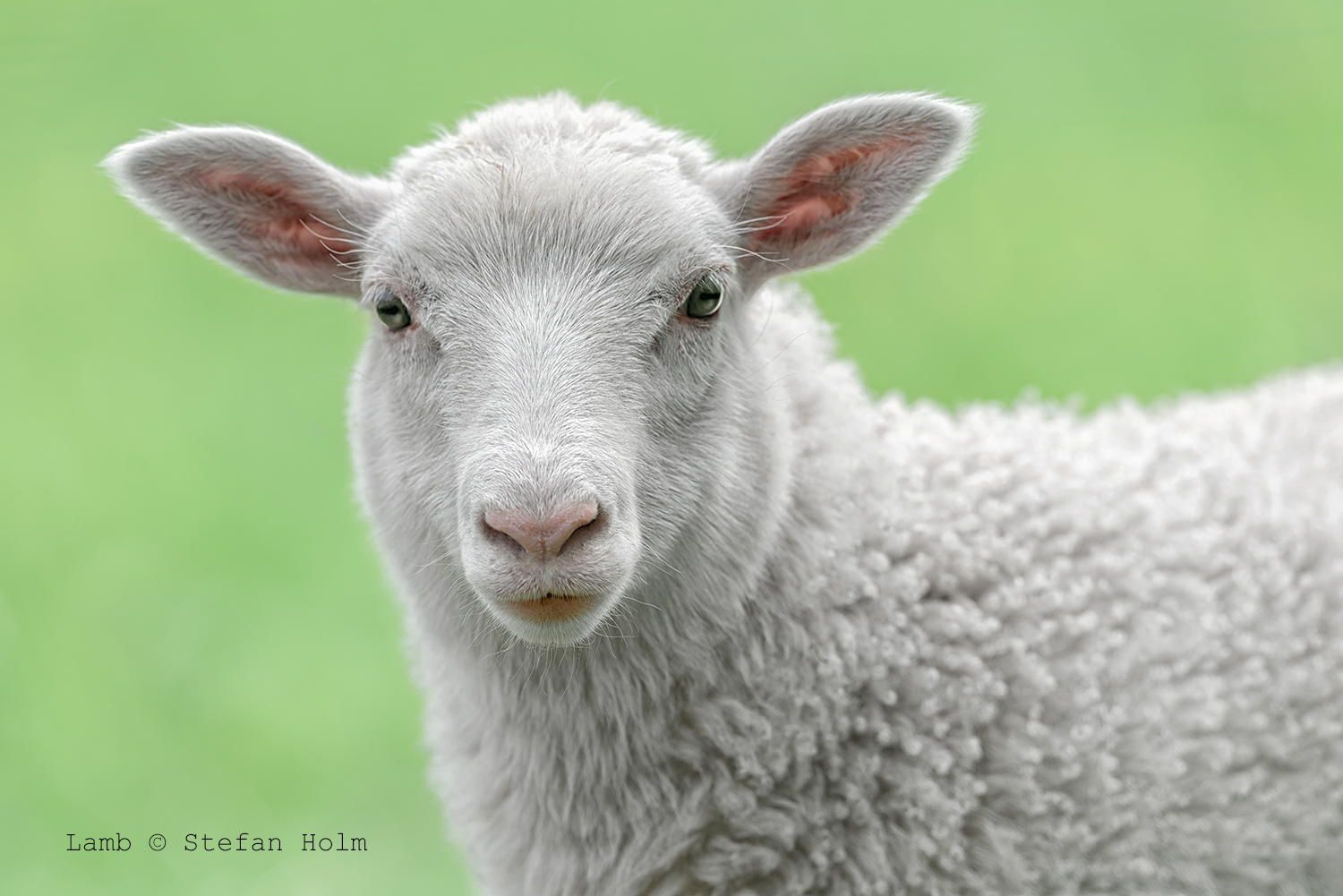 5. Face of a white lamb