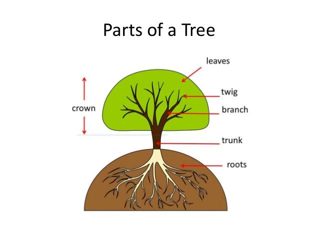 crown tree trunk diagram materi  parts of    tree      bagian bagian pohon  dan soal  materi  parts of    tree      bagian bagian pohon  dan soal