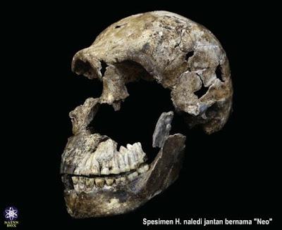 Temuan Terbaru Fosil Kerangka Nenek Moyang Manusia