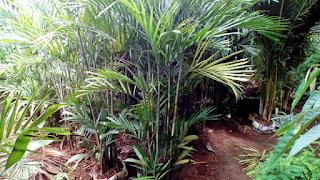 Jual Pohon Palem Komodoria,Palem Chomodoria,Palem Bambu,Chamaedorea Elegans