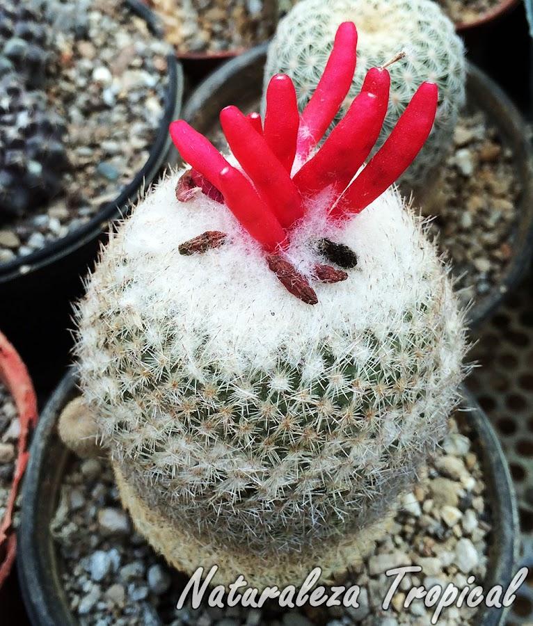 Frutos de un cactus del género Mammillaria producto de la polinización de sus flores, reproducción sexual