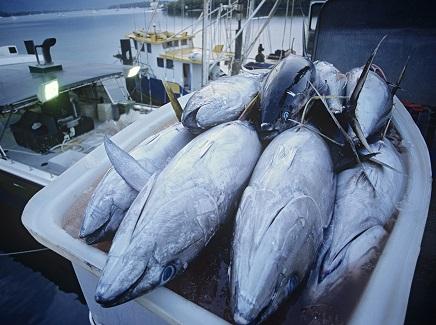 tumpukan ikan tuna segar