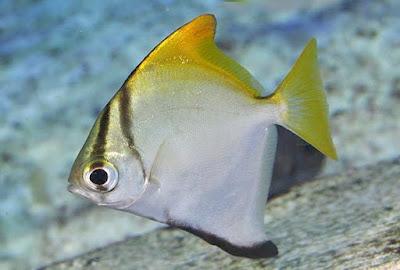 Silver Moonyfish Si Ikan Lucu Berbentuk Segitiga