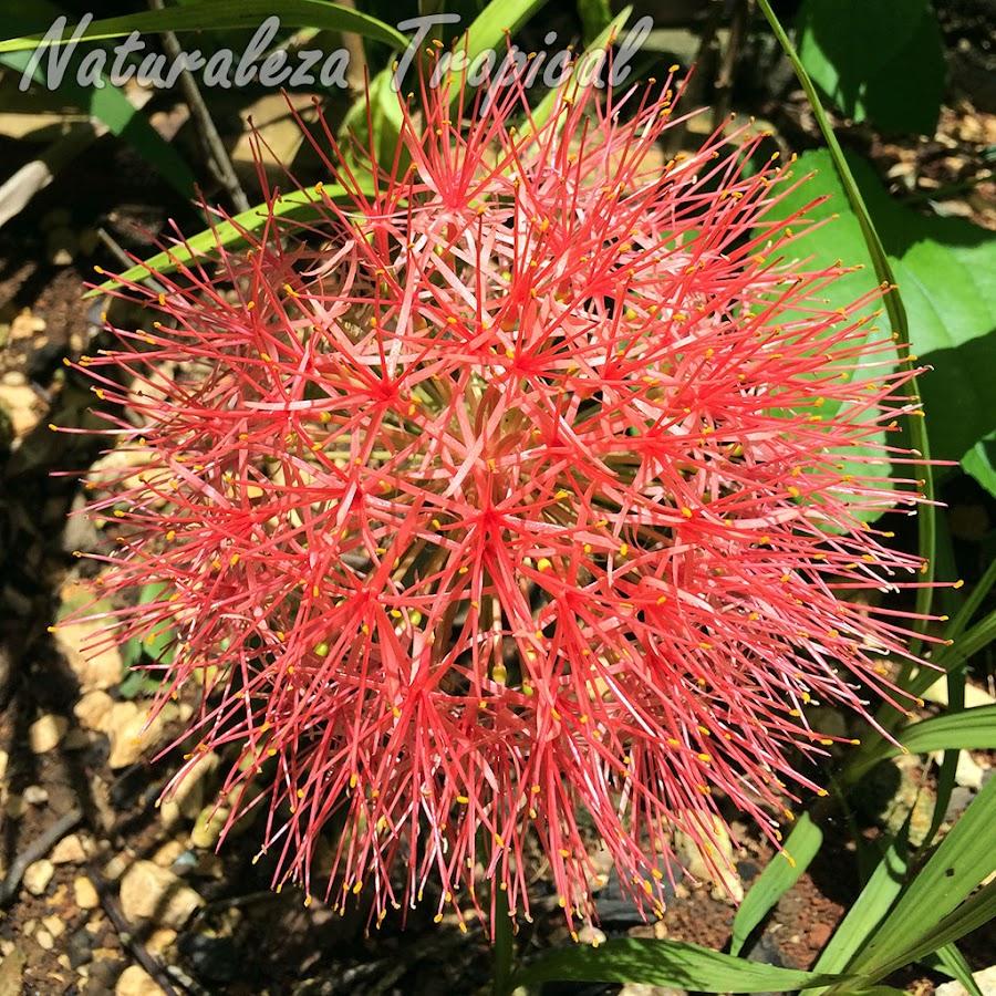Inflorescencia típica de la planta Scadoxus multiflorus