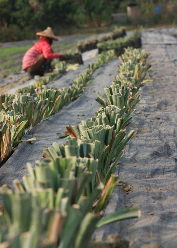茂盛有機農場: 種植鳳梨