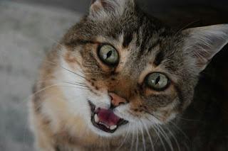 Alasan Kenapa Kucing Mengeong Terus menerus