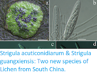 http://sciencythoughts.blogspot.co.uk/2017/03/strigula-acuticonidiarum-strigula.html
