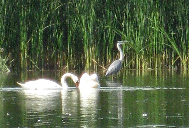 Фото Виталия Бабенко: лебеди, цапля