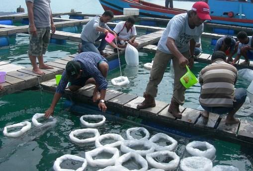 Bisnis Budidaya Ikan Kerapu