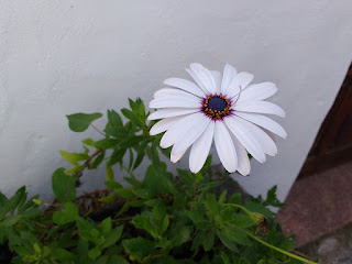 White daisy with a pink center, photographed against a white wall