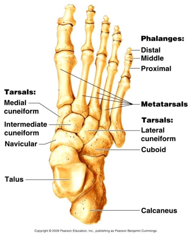 Foot Bones Anatomy Just Wallpapers
