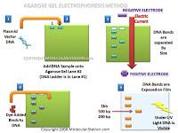 TEXTBOOK : ELECTROPHORESIS