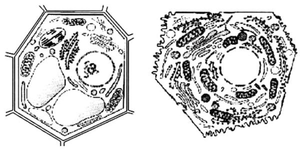 a organização de células complexas
