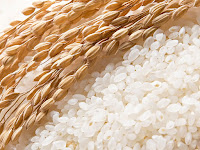 Pirinç taneleri ve kuru pirinç bitki başakları