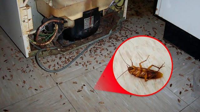 Como se livrar das baratas de forma rápida e natural