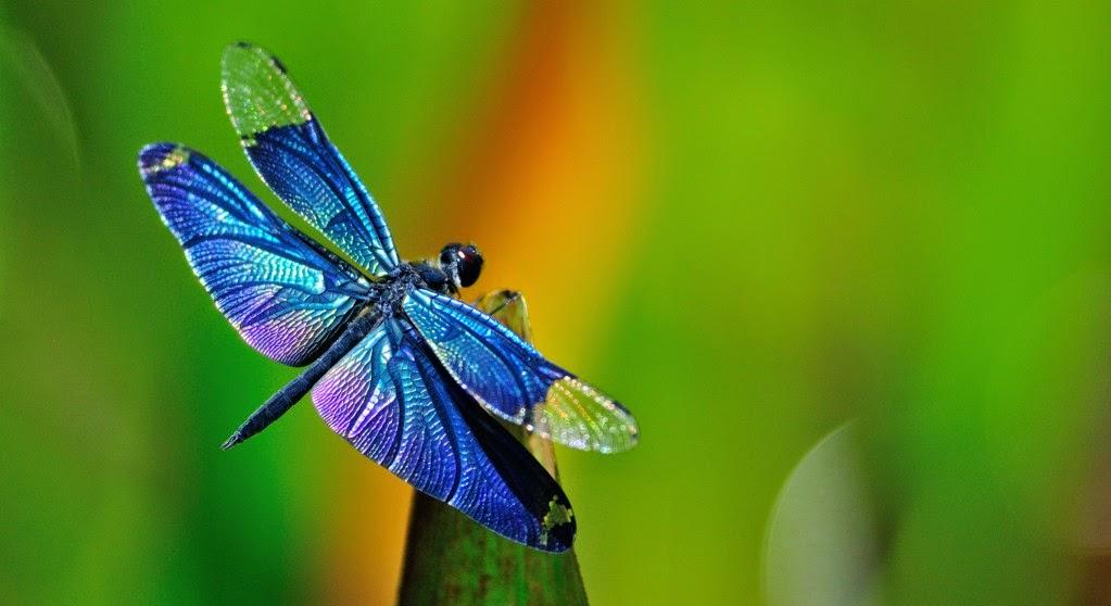 Las libélulas o dragones del aire - Biología