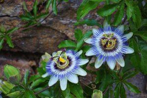 Çarkıfelek Çiçeği Nasıl Yetiştirilir?