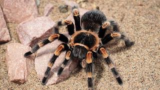 Tarantula Nasıl Bir Örümcek Türü