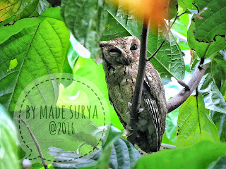 Bird photography for Collared Scops Owl, pls contact madesuryawestbali@gmail.com