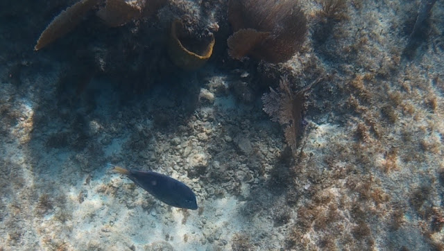 Chankanaab - blauer Fisch im Wasser