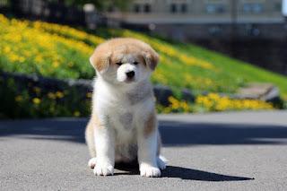 собака акита-ину